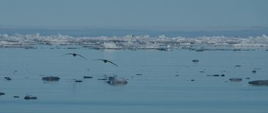 Two seagulls silhouetted over Arctic sea ice Royalty Free Stock Images