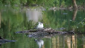 Two seagulls. Sit on a log in the middle of the lake, then fly away stock footage