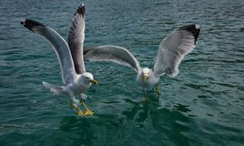 Two Seagulls siting on the water stock images