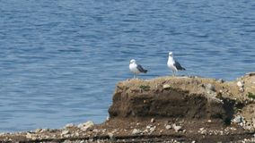 Two seagulls sitting on the island stock footage