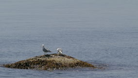 Two seagulls sitting on rock in front of ocean water stock video footage
