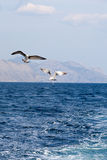 Two seagulls soaring over the sea Royalty Free Stock Image