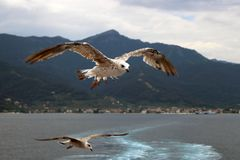 Two seagulls with spread wings in flight stock images