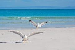 Stintino seagulls Royalty Free Stock Photo