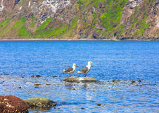 Two seagulls stand on a rock in an ocean bay Royalty Free Stock Image