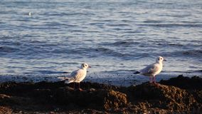 Two seagulls stand on the seashore and look down, enjoy nature stock video