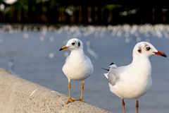 Free Two Seagulls Standing Royalty Free Stock Photography - 67277637