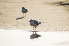 Two seagulls standing on sand beach in front of the sea Royalty Free Stock Images