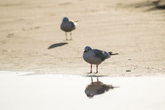 Two seagulls standing on the sand beach Royalty Free Stock Photos