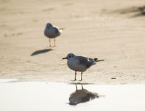 Two seagulls standing on the sand beach Stock Photos