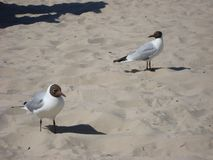 Two seagulls standing on the sandy beach. stock image