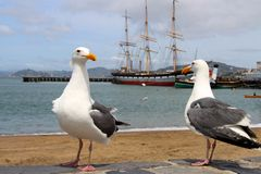 Two seagulls standing on the shore and a sailboat Stock Images