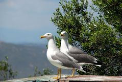Two Seagulls. Stock Photography