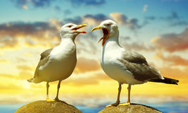 Two seagulls standing on stone. Royalty Free Stock Photo