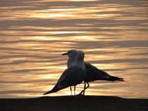 Two Seagulls at Sunrise Stock Images