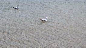 Two seagulls swimming in lake Michigan Waukegan Illinois. Two seagulls swimming in lake Michigan with small waves stock footage