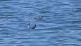 Two seagulls. Swinging on the waves stock video footage
