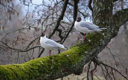 Two seagulls on tree branch Stock Image