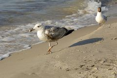 Two seagulls walk on the beach royalty free stock photos