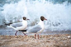 Two seagulls walk on sand sea waves background. Summer nature Stock Images