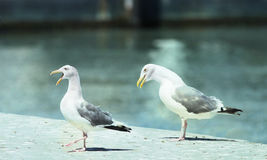 Two seagulls. Two seagulls and walking on a pier royalty free stock image