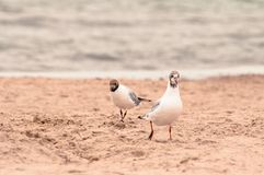 Two seagulls walking on the sand at the seaside stock images