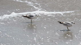 Two Seagulls Walking In Waves On Sandy Beach. Two Seagulls Walking On Sandy Beach With Ocean Waves Washing Up stock video