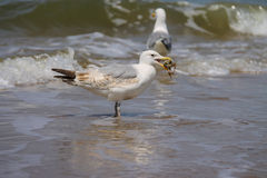 Two seagulls in a water of North sea in Zandvoort Stock Image