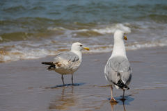 Two seagulls in a water of North sea in Zandvoort, the Netherlan Stock Image