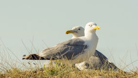 Two Seagulls In A Wild. Close-up shot of two seagulls in a wild stock footage
