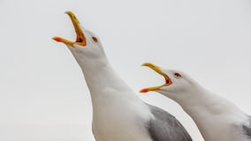 Two seaguls calling out loud Stock Photo