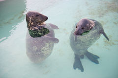 Two seal Stock Photography