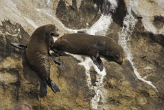 Two Seals Royalty Free Stock Photography