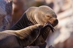 Two Seals Stock Photos