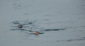 Two seals Stock Photo