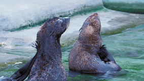 Two seals are cleaned and scratched tail in the water near the shore stock footage