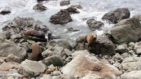 Two seals climb on the rocks. New Zealand stock footage