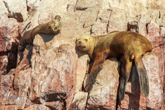 Two seals having a nap on the rocks at Ballestas island, Paracas Royalty Free Stock Photo