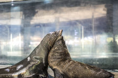 Two seals huging. Two fur seals huging together in aquarium royalty free stock photography