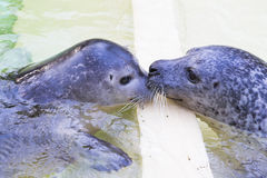 Two seals kissing Stock Photo