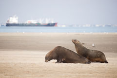 Two Seals Move Along the Beach Stock Images