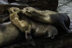 Two Seal Snuggeling at Fishermans warf in SF CA stock image