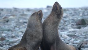 Two seals are played on the beach. Andreev. Two seals are played on the beach. Seals seated on the beach of stones. Two fur seals sit on the beach near the stock video footage