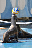 Two seals playing ball Stock Photos