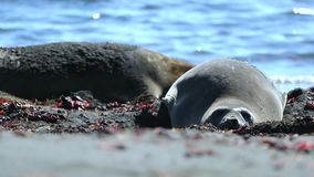 Two seals rest on the background of the water. Seals lie on the beach close up. The ocean in the background is blurred stock footage