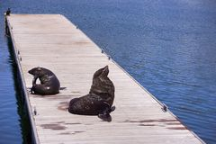 Two seals resting on wooden pier Royalty Free Stock Photography