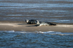 Two seals on a sandbank Stock Photos