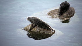Two Seals Sitting On Rocks Monterey California. Seal Sitting On Rock In Bay Looking Around stock video