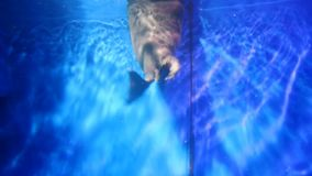 Two seals swim in glass aquarium underwater close up. Grey mammals play. Fun, frolic each other and peep from the water to pump air into lungs. Animals live in stock video