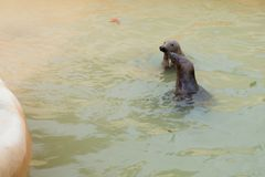 Two seals swimming Stock Photography